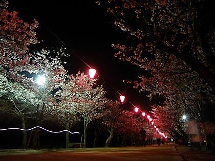 09夜桜4