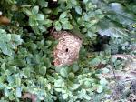 スズメ蜂 1