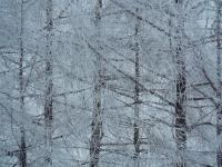 枝が真っ白