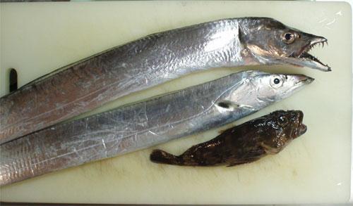太刀魚とガシラ