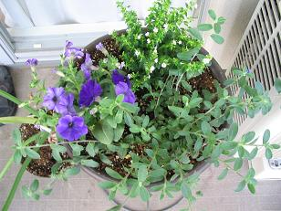 紫の寄せ植え
