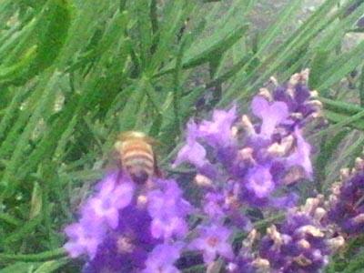 ラベンダーと蜂