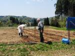 ジャガイモの移植