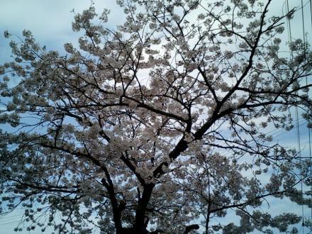 CA250148-sakuras.jpg
