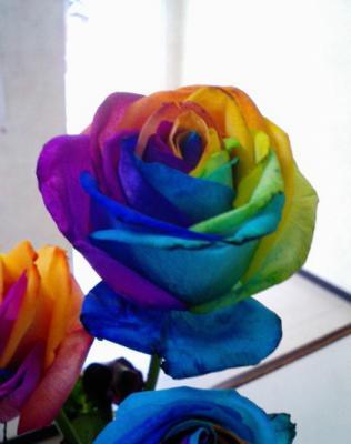 rainbowrose2.jpg