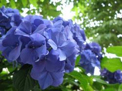 紫陽花 アップ