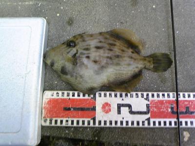 カワハギ25cm