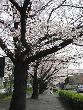 太尾隊道桜
