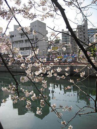 大岡川桜1