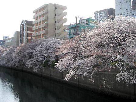 大岡川桜3