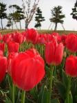 tulip13-4.9.jpg