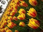 tulip5-4.9.jpg