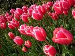 tulip9-4.9.jpg