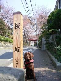 sakurazaka1.jpg