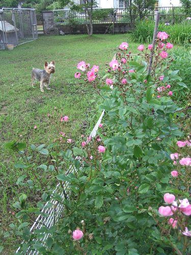 090710-rose.jpg