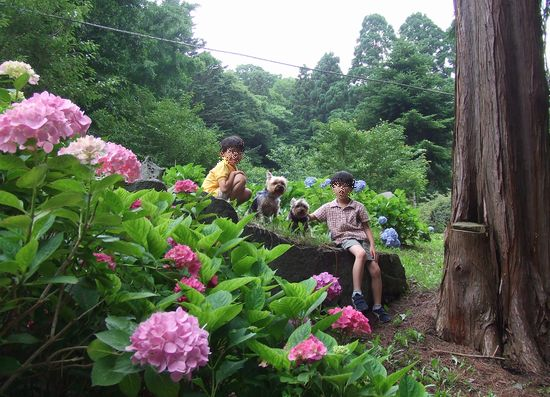 090729-ajisai8.jpg
