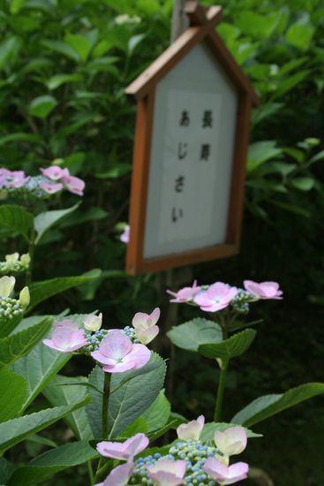 090729-ajisai9.jpg