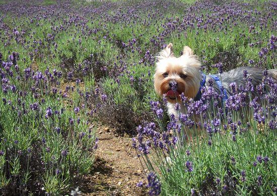 090730-lavender2.jpg