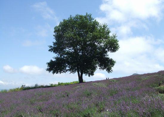 090730-lavender5.jpg