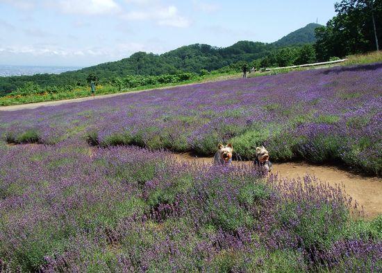 090730-lavender6.jpg