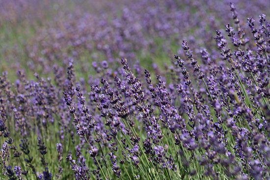090730-lavender8.jpg