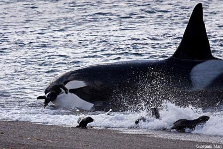 orca   Giovanni Mari