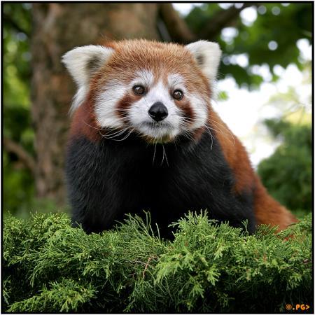 lesser panda   Edgar thissen