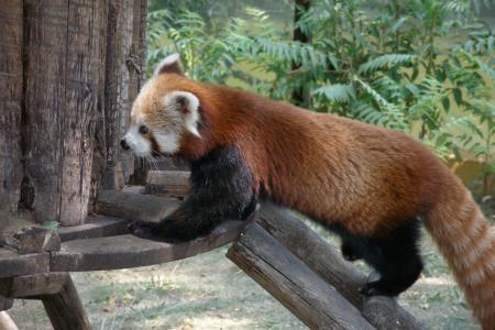 lesser panda   miquelsaez7