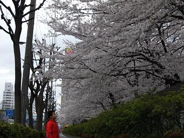 200604桜を見上げる