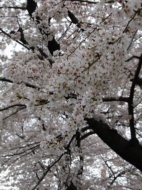 200604桜 その1