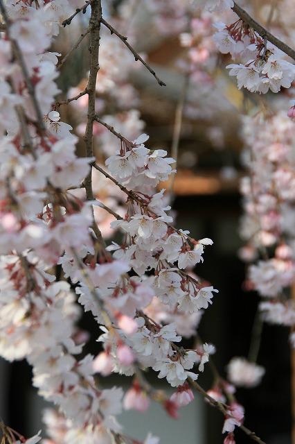 IMG_6391平野神社