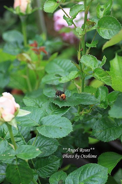 IMG_4490オオスズメバチ