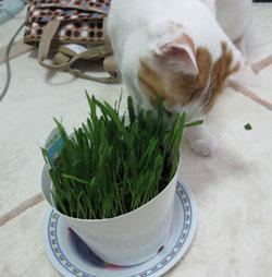 猫草大好き0517