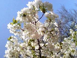 大島桜は満開です