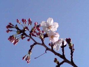 ソメイヨシノはやっぱりきれいです