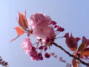 八重桜のシーズンです