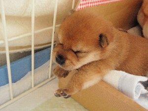 ボクちんはこの寝方もしゅきだよ~♪ムニャムニャ…