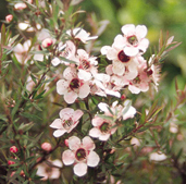 manukaflower