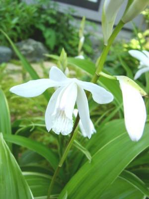 シラン(白花)
