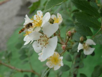 ノイバラとハチ