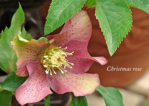 Christmas rose~