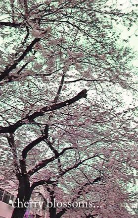 都立大駅前の桜