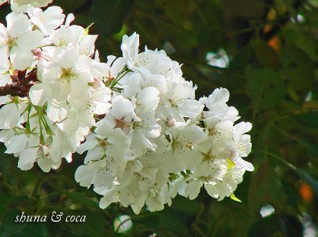 白い桜~?