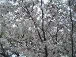 ハウスクリーニング桜1
