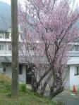 ハウスクリーニング桜4