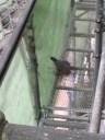 広島掃除:鳩1