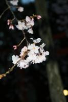 桜・円山公園
