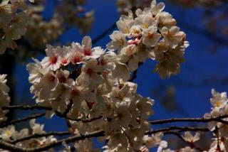 疎水の桜をアップで。。。