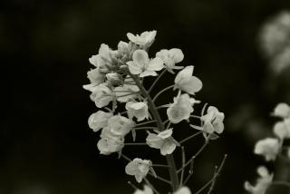 菜の花(モノクロ)