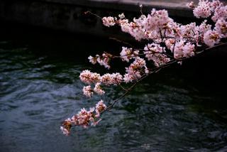 琵琶湖疏水と桜